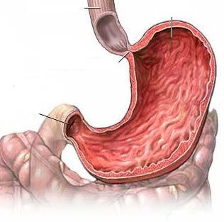 Слизистая оболочка желудка (tunica mucosa ventriculi)