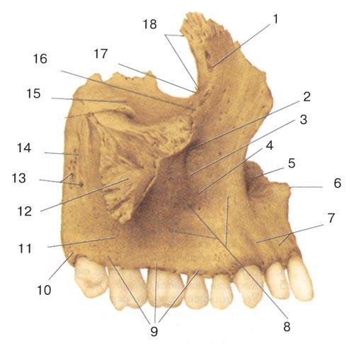 Верхняя челюсть (верхнечюстная кость-maxilla) правая