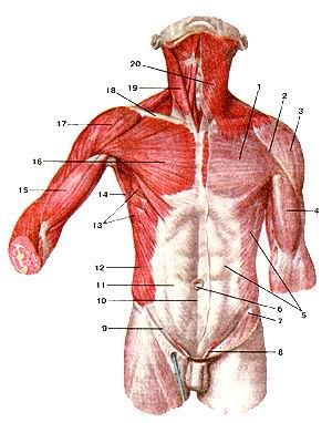 <br>Рис. 115. Мышцы и фасции туловища.<br>Вид спереди. 1-фасция груди (поверхностный листок); 2-дельтовидно-грудная борозда;<br>3-дельтовидная фасция; 4-фасция гшеча; 5-фасция живота; 6-пупочное кольцо; 7-верхняя<br>передняя подвздошная ость; 8-семенной канатик; 9-паховая связка; 10-бслая линия<br>живота; 11-апоневроз наружной косой мышцы живота; 12-наружная косая мышца живота;<br>13-передняя зубчатая мышца; 14-широчайшая мышца спины; 15-двуглавая мышца плеча;<br>16-большая фудная мышца; 17-дельтовидная мышца; 18-ключица; 19-фудино-клю-чично-сосцевидная<br>мышца; 20-подкожная мышца шеи.<br>Fig. 115. Мышцы и фасции туловища. Вид спереди. 1-fascia pectoralis (lamina<br>superficialis); 2-sulcus deltoideopectoralis; 3-fascia deltoidea; 4-fascia brachii;<br>5-fascia propria abdominis (lamina superficialis); 6-anulus umbilicalis; 7-spina<br>iliaca anterior superior; 8-funiculus spermaticus; 9-lig.inguinale; 10-linea<br>alba (abdominis); II-aponeurosis m. obliqui cxterni abdominis; 12-m. obliquus<br>externus abdominis; 13-m. serratus anterior; 14-m. latissimus dorsi ; 15-m.biceps<br>brachii; 16-m. pectoralis major; 17-m. deltoideus; 18-clavic-ula; 19-m. sternocleidomastoideus;<br>20-platysma.<br>Fig. 115. Muscles and fasciesof (rank. Anterior aspect. 1-pectoral fascia (superficial<br>layer); 2-deltoid pectoral groove; 3-del-toid fascia; 4-brachial fascia; 5-proprial<br>abdominal fascia (superficial layer); 6-umbilical ring; 7-anterior superior<br>iliac spine; 8-spermatic cord; 9-inquinal ligament; 10-linea alba (of abdomen);<br>1 l-aponeurosis of external oblique muscle (of abdomen); 12-external oblique<br>muscle; 13-serratus anterior; 14-latissimus dorsi; 15-biceps brachii; 16-pectoral<br>major; 17-deltoid; 18-clavicule; 19-sternoclcidomastoid; 20-platysma.<br>