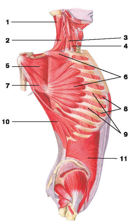 Рис.105. Глубокие мышцы груди и живота (вид сбоку):1 — ременная мышца головы; 2 — мышца, поднимающая лопатку; 3 — средняя лестничная мышца;4 — передняя лестничная мышца; 5 — подлопаточная мышца; 6 — передняя зубчатая мышца;7 — большая круглая мышца; 8 — внутренние межреберные мышцы; 9 — наружные межреберные мышцы;10 — широчайшая мышца спины; 11 — внутренняя косая мышца живота