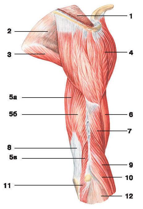 Рис.113. Мышцы плеча и плечевого пояса (вид сбоку):1 — надостная фасция; 2 — подостная фасция; 3 — большая круглая мышца; 4 — дельтовидная мышца;5 — трехглавая мышца плеча: а) длинная головка, б) боковая головка, в) медиальная головка;6 — двуглавая мышца плеча; 7 — плечевая мышца; 8 — сухожилие трехглавой мышцы плеча;9 — плечелучевая мышца; 10 — длинный лучевой разгибатель запястья; 11 — локтевая мышца;12 — фасция предплечья