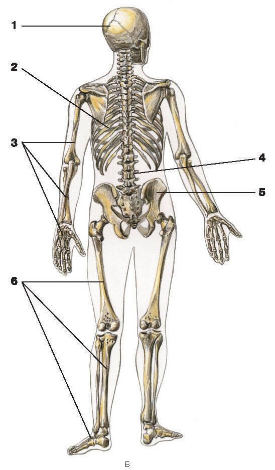 Рис.1. Скелет человекаБ — вид сзади:1 — череп; 2 — грудная клетка; 3 — кости верхней конечности;4 — позвоночный столб; 5 — тазовая кость; 6 — кости нижних конечностей