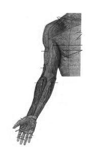 Кожные нервы (nervi cutanei) верхней конечности