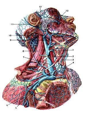 <br>Рис. 317. Глубокие вены шеи. Вид справа. 1-щитовидная вена; 2-обшая сонная артерия;<br>3-передняя яремная вена; 4-подключичная вена; 5-подмышечная вена; 6-лате-ральная<br>полкожная вена руки; 7-впутренняя яремная вена; 8-мышца, поднимающая лопатку;<br>9-лицевая вена; 10-наружная яремная вена; 11-задняя ушная вена; 12-поверхностная<br>височная вена; 13-упювая вена.<br>Fig. 317. Глубокие вены шеи. Вид справа.<br>1-v. Ihyroidca; 2-a. carotis communis; 3-v. jugularis anterior; 4-v. sub-clavia;<br>5-v. axillaris; 6-v.cehpalica; 7-v. jugularis interna; 8-m. levator scapulae;<br>9-v. facialis; 10-v. jugularis externa; 11-v. auricularis posterior; 12-v. temporalis<br>superficicalis; 13-v. angularis.<br>Fig. 317. Deep vein of neck. Right aspect.<br>l-thyroid vein; 2-common carotid artery; 3-anterior jugular vein; 4-subclavian<br>vein; 5-axillary vein; 6-cephalic vein; 7-internaljugularvein; 8-elevalor scapulae;<br>9-lacial vein; 10-external jugular vein; 11-posterior auricular vein; 12-superticial<br>temporal vein; 13-angular vein.