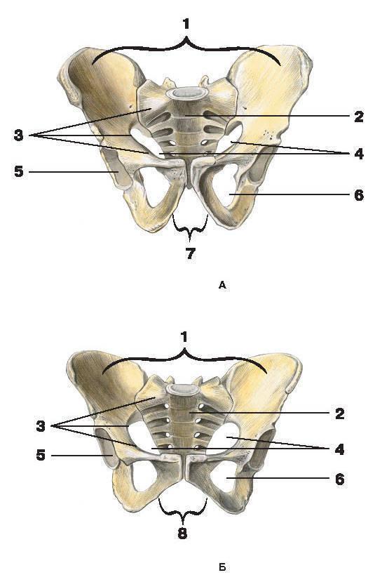 Рис.43. Таз (вид спереди):А — мужской; Б — женский:1 — большой таз; 2 — крестец; 3 — пограничная линия; 4 — малый таз;5 — вертлужная впадина; 6 — запирательное отверстие; 7 — подлобковый угол; 8 — лобковая дуга