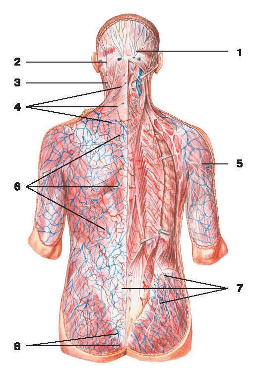 Рис.270. Сплетения спинно-мозговых нервов (вид сзади):1 — большой затылочный нерв; 2 — малый затылочный нерв; 3 — большой ушной нерв; 4 — нервы шейного сплетения;5 — латеральный кожный нерв плеча; 6 — задние кожные ветви грудных нервов; 7 — нервы поясничного сплетения;8 — нервы крестцового сплетения