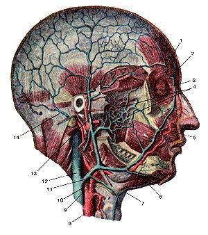 <br>Рис. 316. Вены головы. Вид справа.<br>1-надблоковая вена; 2-носо-лобная вена; 3-угловая вена; 4-кры-ловидное сплетение;<br>5-лицевая вена; 6-подподбородочная вена; 7-передняя яремная вена; 8-общая сонная<br>артерия; 9-внутренняя сонная артерия; 10-наружная сонная артерия; II-лицевая<br>вена; 12-внутренняя яремная вена; 13-поверхностная височная вена; 14-задняя<br>ушная вена.<br>Fig.<br><br><br><script async src=