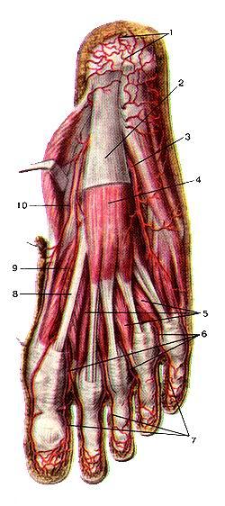 <br>Рис. 311. Поверхностные артерии подошвенной стороны стопы,<br>правой. Вид снизу, подошвенной апоневроз отрезан и удален. 1-пяточная сеть (артериальная);<br>2-подошвенный апоневроз; З-.чатеральная подошвенная артерия; 4-короткая мышца,<br>сгибающая пальцы стопы; 5-червеобразные мышцы; 6-обшие подошвенные пальцевые<br>артерии; 7-собственные подошвенные пальцевые артерии; 8-сухожилия длинной мышцы,<br>сгибающей большой палец стопы; 9-глубокая ветвь медиальной подошвенной артерии;<br>10-поверхностная ветвь медиальной подошвенной артерии.<br>Fig. 311. Поверхностные артерии подошвенной стороны стопы, правой. Вид снизу,<br>подошвенной апоневроз отрезан и удален. 1-rete calcaneum (arteriosum); 2-aponeurosus<br>plantaris; 3-a. plantaris lateralis; 4-m. flexor digitorum brevis; 5-mm. lumbricales;<br>6-aa. digi-tales plamares communes; 7-aa. digilales plantares propriae; 8-tendinis<br>m. flexoris hallucis; 9-r. profundus a. plantaris medialis; 10-r. superfi-cialis<br>a. plantaris medialis.<br>Fig. 311. Superficial arteries of plantar side of right foot. View from<br>below. Plantar aponeurosis is removed:<br>1-calcaneal anastomosis; 2-plantar aponeurosis; 3-lateral plantar artery; 4-fIexor<br>digitorum brevis; 5-lumbricales; 6-common plantar digital arteries; 7-plantar<br>digital arteries proper; 8-tendon of flexor hallucis longus; 9-deep branch of<br>medial plantar artery; 10-superficial branch of medial plantar artery.