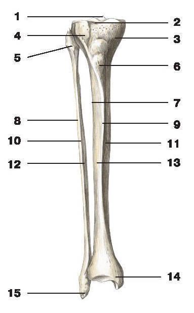 Рис.49. Большеберцовая и малоберцовая кости (вид спереди):1 — межмыщелковое возвышение большеберцовой кости; 2 — верхняя суставная поверхность большеберцовой кости;3 — медиальный мыщелок; 4 — латеральный мыщелок; 5 — головка малоберцовой кости;6 — бугристость большеберцовой кости; 7 — межкостный край большеберцовой кости;8 — боковая поверхность малоберцовой кости; 9 — передний край большеберцовой кости;10 — передний край малоберцовой кости; 11 — медиальная поверхность большеберцовой кости;12 — межкостный край малоберцовой кости; 13 — боковая поверхность большеберцовой кости;14 — медиальная лодыжка; 15 — латеральная лодыжка