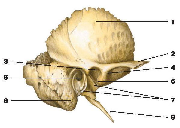 Рис.64. Височная кость (вид снаружи):1 — чешуйчатая часть; 2 — скуловой отросток; 3 — нижнечелюстная ямка; 4 — суставной бугорок; 5 — наружное слуховое отверстие;6 — каменисто-чешуйчатая щель; 7 — барабанная часть; 8 — сосцевидный отросток; 9 — шиловидный отросток