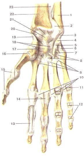 </p><br><p>Рис. 83. Луче-запястный сустав (articulartio<br>radiocarpea);<br><br>связки и суставы кисти, правой. Ладонная сторона. 1 -локтевая кость; 2-дистальный<br>луче-локтевой сустав; 3-локтевая коллатеральная связка запястья; 4-гороховидная<br>кость; 5-горохо-видно-крючковая связка; 6-гороховидно-пястная связка; 7-крю-чок<br>крючковидной кости; 8-ладонные за мястно-пястные связки; 9-ладонные пястные<br>связки; 10-глубокие поперечные пястные связки; 11-пястно-фаланговый сустав V<br>пальца (вскрыт); 12-межфаланговые суставы V пальца; 13-сухожилие мышцы -глубокого<br>сгибателя пальцев; 14-фиброзное влагалище сгибателей III пальца кисти; 15-коллатеральные<br>связки пястно-фалангового и межфалангового сусгавов 1 пальца кисти; 16-запя-стио-пястный<br>сустав I пальца кисти; 17-головчатая кость; 18-лу-чевая связка запястья; 19-лучевая<br>коллатеральная связка; 20-ладонная луме-запястная связка; 21-полулунная кость;<br>22-лу-чевая кость; 23-межкостпая перепонка предплечья.<br><br>Fig. 83. Aniculatio radiocarpea. Связки и суставы кисти,правой. Ладонная сторона,<br>l-ulna; 2-articulatio radioulnaris distalis; 3-ligamcntum collaierale саф1 ulnare;<br>4-os pisiforme; 5-ligamentum pisohamatum; 6-ligamen-tum Р18оте1асафсит; 7-hamulus<br>ossis hamati; 8-ligamenta car-pometacarpea palmaria; 9-ligamenta metacarpea<br>palmaria; 10-liga-mcnta тс!асафса transversa prolunda; 11-articulatio caфophalangea<br>(вскрыт); 12-articulationes 1шефЬа1апЕеае manus; 13-tendo m.flex-oris digitorum<br>profundi; 14-vagina tendinis musculi flexorum digito-rum (III); 15-ligamenla<br>collateralia; 16-articulatio сафоптаасафеа; 17-oscapitatum; 18-^атепШтсаф1 radiatum;<br>19- ligamemum col-laterale carpi radiale; 20-ligamentum сафоте!асафеа palmare;<br>21-os lunatum; 22-radius; 23-membrana interosseaanterbrachii.<br><br>Fig. 83. Radota^al joint, ligaments and joints of wrist, right.<br><br>Palmar view.<br><br>l-ulna; 2-distal radioulnar joint; 3~ulnar collateral сафа! ligament; 4-pisilbnTi<br>bone; 5-pi