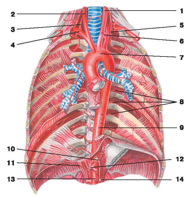 Рис.223. Артерии грудной полости:1 — левая общая сонная артерия; 2 — правая общая сонная артерия; 3 — позвоночная артерия; 4 — правая подключичная артерия;5 — наивысшая межреберная артерия; 6 — левая подключичная артерия; 7 — дуга аорты; 8 — межреберные артерии; 9 — аорта;10 — левая желудочная артерия; 11 — нижняя диафрагмальная артерия; 12 — общая печеночная артерия; 13 — верхняя брыжеечная артерия;14 — почечная артерия