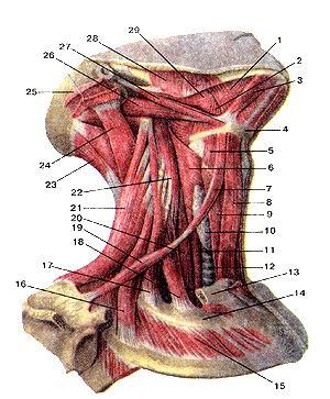 <br>Рис. 112. Мышцы шеи. Подкожная мышца шеи и грудино-клю-<br>чично-сосцевидная мышцы удалены. Вид справа. 1-челюстно-подъязычная мышца; 2-подъязычно-язычная<br>мышца; 3-нереднее брюшко двубрюшной мышцы; 4-подъязычная кость; 5-щито-подъязычная<br>мьшща; 6-НИжниЙ сжиматель (констриктор) глотки; 7-всрхнее брюшко лопаточно-подъязычной<br>мышцы; 8-грудино-подъязычная мышца; 9-грудино-щитовид-ная мышца; 10-щитовидная<br>железа; 11-пищевод; 12-трахея; 13-ключица (отрезана); 14-1-е ребро; 15-паружная<br>межреберная мышца; 16-задняя лестничная мышца; 17-средняя лестничная мышца;<br>18-передняя лестничная мышца; 19-нижнее брюшко лопаточно-подъязычной мышцы;<br>20-длинная мышца шеи; 21-мышца, поднимающая лопатку; 22-длинная мышца головы;<br>23-полуостистая мышца головы; 24-длиннейшая мышца головы; 25-грудино-ключично-сосиевидная<br>мышца (отрезана); 26-заднее брюшко двубрюшной мышцы; 27-шило-подъязычная мышца;<br>28-жевательная мышца; 29-шило-язычная мышца.<br>Fig. 112. Мышцы шеи. Подкожная мышца шеи и грудино-клю-чично-сосцевидная мышцы<br>удалены. Вид справа.<br>(-т. mylohyoideus; 2-m. hyoglossus; 3-m.digastricus (venter anterior); 4-os<br>hyoideum; 5-m.thyrohyoideus; 6-m. constrictor pharyngis interior; 7-m. omohyoideus<br>(venter superior); 8-m. sternohyoideus; 9-m. ster-nothyroideus; 10-glandulathyroidea;<br>11-esophagus; 12-trachea; 13-clav-icula (отрезана); 14-costa 1; 15-m. intercostalis<br>externus; 16-m. scalenus posterior; 17-m.scalenusmedius; 18-m. scalenus anterior;<br>19-m. omohyoideus (venter inferior); 20-m.longus colli; 21-m. levator scapulae;<br>22-m. longus capitis (отрезана); 24-m.semispinalis capitis; 24-m.longissimus<br>capitis; 25-m. stemocleidomastoideus; 26-m.digastricus (venter posterior); 27-m.stylohyoideus;<br>28-m.masseter; 29-m.styloglossus.<br>Fig. 112. Muscles of neck.<br>Platisma and sternocleidomastoid muscle are cut away. Right aspect. 1-mylohyoid;<br>2-hyoglossus; 3-anterior belly of digastric muscle; 4-hyoid bone; 5-thyrohyoid<br>muscle; 