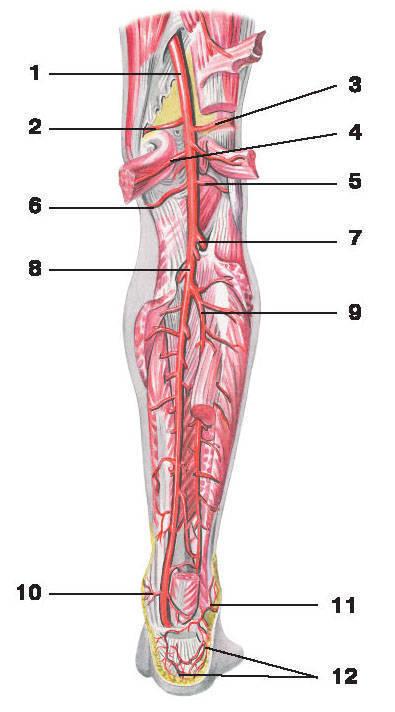 Рис.229. Артерия голени:1 — подколенная артерия; 2 — боковая верхняя артерия колена; 3 — медиальная верхняя артерия колена; 4 — икроножные артерии;5 — боковая нижняя артерия колена; 6 — медиальная нижняя артерия колена; 7 — передняя большеберцовая артерия;8 — задняя большеберцовая артерия; 9 — малоберцовая артерия; 10 — медиальные лодыжковые ветви;11 — боковые лодыжковые ветви; 12 — пяточная сеть