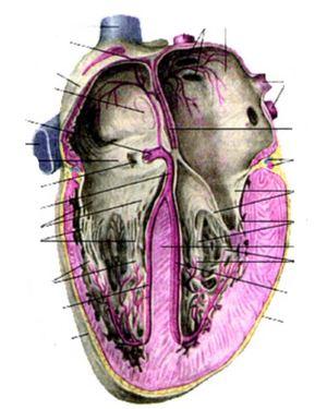 Артерии и вены сердца (аа. et w. cordis)