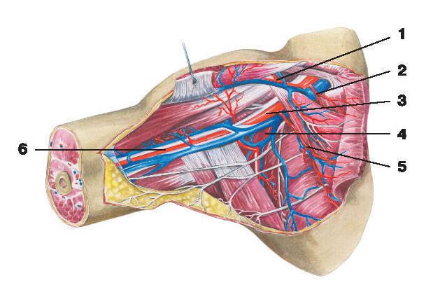 Рис.218. Артерии подмышечной области:1 — грудоакромиальная артерия; 2 — верхняя грудная артерия; 3 — подмышечная артерия;4 — подлопаточная артерия; 5 — латеральная грудная артерия; 6 — плечевая артерия