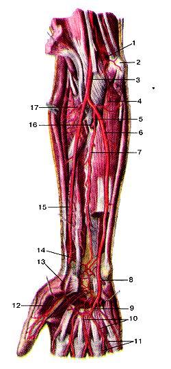 <br>Рис. 294. Глубокие артерии предплечья и кисти, правой.<br>Вид спереди.<br>1-нижняя локтевая коллатеральная артерия; 2-медиальный над-мыщелок плечевой<br>кости; 3-плечевая артерия; 4-возвратная локтевая артерия; 5-обшая межкостная<br>артерия; 6-локтевая артерия; 7-передняя межкостная артерия; 8-глубокая ладонная<br>ветвь локтевой артерии; 9-поверхностная ладонная дуга; 10-обшие ладонные пальцевые<br>артерии; I (-собственные ладонные пальцевые артерии; 12-артерия большого пальца<br>кисти; 13-поверхностная ладонная ветвь лучевой артерии; 14-ладонная запястная<br>ветвь; 15-лучевая артерия; 16-тыльная межкостная артерия; 17-лучевая возвратная<br>артерия.<br>Fig. 294. Глубокие артерии предплечья и кисти, правой.<br>Вид спереди.<br>l-a. collateralis ulnaris inferior; 2-epicondylus medialis; 3-a. brachialis;<br>4-a. recurrens ulnaris; 5-a. interossea communis: 6-a. ulnaris; 7-a. interossea<br>anterior; 8-r. palmaris profundus a. ulnaris; 9-arcus palmaris superficialis;<br>10-aa. digitales palmares communes; 11-aa. digitales palmares propriae; 12-a.<br>princeps pollicis; 13-r. palmaris superficialis a. radialis; 14-r. carpalis<br>palmaris; 15-a. radialis; 16-a. interossea posterior; 17-a. recurrens radialis.<br>Fig. 294. Deep arteries of right forearm and hand. Anterior aspect. 1-inferior<br>ulnar collateral artery; 2-medial epicodyle of humeris; 3-brachial artery; 4-ulnar<br>recurrent artery; 5-common interosseus artery; 6-ulnar artery; 7-anterior interosseus<br>artery; 8-deep palmar branch of ulnar artery; 9-superficial palmar arch; 10-common<br>palmar digital arteries; 11-proper digital arteries; 12-artery of thumb; 13-superficial<br>palmar branch of radial artery; 14-palmar carpal branch; 15-radial artery; 16-dorsal<br>interosseus artery; 17-radial recurrent artery.