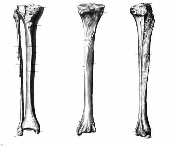 Большеберцовая и малоберцовая кости (tibia et fibula)