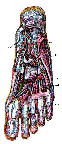 Рис. 326. Вены подошвы стопы, правой.<br>Вид снизу. Подошвенный апоневроз и поверхностные мышцы частично удалены. 1-латеральная<br>краевая вена стопы; 2-латеральные подошвенные вены; 3-подош-венная венозная<br>дуга; 4-по-дошвенные плюсневые вены; 5-подошвенные пальцевые пены; 6-медиальные<br>подошвенные вены.<br>Fig. 326. Вены подошвы стопы, правой. Вид .снизу. Подошвенный апоневроз и<br>поверхностные мышцы частично удалены.<br>1-v. marginalis lateralis; 2-vv.<br>plantares laterales; 3-arcus<br>vcnosus plantaris; 4-vv.<br>metatarsales plantares; 5-vv.<br>digitales plantares; 6-vv.<br>plantares mediales.<br>Fig.326. Veins of right foot.<br>View from below. Plantar aponeurosis and superficial muscles are partially removed.<br>1-later plantar marginal vein; 2-lateral plantar veins; 3-plantar venosous arch;<br>4-plantar mctatarsal veins; 5-plantar digital veins; 6-medial plantar veins.