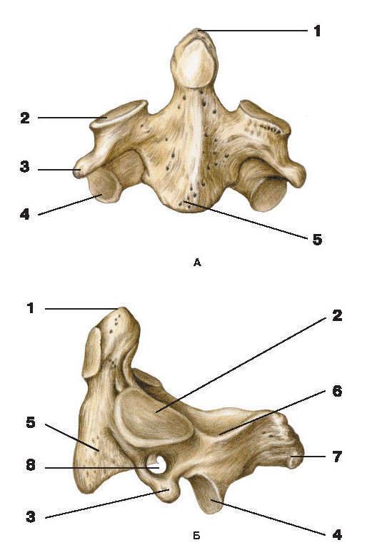 Рис.6. II шейный позвонокА — вид спереди; Б — вид слева:1 — зуб осевого позвонка; 2 — верхний суставной отросток; 3 — поперечный отросток;4 — нижний суставной отросток; 5 — тело позвонка; 6 — дуга позвонка; 7 — остистый отросток;8 — отверстие поперечного отростка