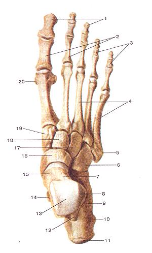 Кости плюсны (ossa metatarsi) <strong><br />Кости стопы</strong> (ossa pcdis). <br /><br />Вид сверху. <br /><br />1-дистальные (ногтевые) фаланги; <br />2-проксимальные фаланги; <br />3-средние фаланги; <br />4-плюсневые кости; <br />5-бугристость V плюсневой кости; <br />6-кубовидная кость; <br />7-таранная кость; <br />8-латеральная лодыжковая поверхность; <br />9-пяточная кость; <br />10-латеральный отросток буфа пяточной кости; <br />11-бугор пяточной кости; <br />12-зад-ний отросток таранной кости; <br />13-блок таранной кости; <br />14-опора таранной кости, <br />15-шейка таранной кости; <br />16-ладьевидная кость; <br />17-латсральная клиновидная кость; <br />18-промежуточная клиновидная кость; <br />19-медиальная клиновидная кость; <br />20-сесамовидная кость.