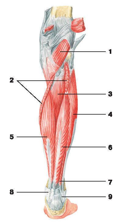 Рис.139. Мышцы голени (вид сзади):1 — подколенная мышца; 2 — камбаловидная мышца; 3 — задняя большеберцовая мышца; 4 — длинная малоберцовая мышца;5 — длинный сгибатель пальцев; 6 — длинный сгибатель большого пальца; 7 — короткая малоберцовая мышца; 8 — удерживатель сгибателей;9 — верхний удерживатель длинной и короткой малоберцовых мышц