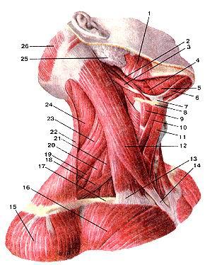 <br>Рис. 111. Мышцы шеи. Вид справа.<br>I-жевательная мышца; 2-шило-подъязычная мышца; 3-заднее брюшко двубрюшной мышцы;<br>4-подъязычно-язычная мышца; 5-челюстно-подьязычная мышца; 6-переднее брюшко<br>двубрюшной мышцы; 7-сухожильная петля, удерживающая сухожилие двубрюшной мышцы<br>возле подъязычной кости; 8-подьязычная кость; 9-щито-подъязычная мышца; 10-верхнее<br>брюшко лопа-точно-подьязычной мышцы; 11-фудино-иодъязычная мышца; 12-фудино-ключично-подъязычная<br>мышца; 13-ключичная головка фудино-ключично-сосцевидной мышцы; 14-грудинная<br>головка фудино-ключично-сосцевидной мышцы; 15-дельтовид-ная мышца; 16-болыпая<br>(рудная мышца; 17-ключица; 18-нижнее брюшко лопаточно-подъязычной мышцы; 19-задняя<br>лестничная мьммца; 20-средняя лестничная мышца; 21-передняя лестничная M,,;.iina;<br>22-трапециевидная мышца; 23-мышца, поднимающая лопатку; 24-ременная мышца головы;<br>25-околоушная слюнная железа; 26-затылочное брюшко надчерепной мышцы.<br>Fig. 111. Мышцы шеи. Вид справа.<br>1-m.masseter; 2-m.stylohyoideus; 3-m.digastricus (venter posterior); 4-m. hyoglossus;<br>5-m.mylohyoideus; 6-m.digastricus (venter anterior); 7-ansa tendinosus dygastrici;<br>8-os hyoideum; 9-m.thyrohyoideus; 10-ven-ter superior m. omohyoidei; ll-m. sternohyoideus;<br>12-m. stemocleidomastoideus; 13-capitulum claviculare m. sternocleidomas-toidei;<br>14-capitulum pectorale m. stemocleidomastoidei; 15-m. del-toidens; 16-m. pectoralis<br>major; 17-clavicula; 18-m.omohyoideus (venter interior); 19-m.sca)enus posterior;<br>20-m.scalenus medius; 21-m.scalenus anterior; 22-m.trapezius; 23-m.levator scapulae;<br>24-m.splenius capitis; 25-glandula parotidea; 26-m.occipitofrontalis (venter<br>posterior).<br>Fig. 111. Masclesof neck. Right aspect.<br>1 -masseter; 2-styloihyoid; 3-posterior belly ol'digastric muscle; 4-hyo-glossus<br>muscle; 5-mylohyoid; 6-anterior belly ol'digastric; 7-interme-diate tendon ol'digastric<br>muscle is attached to hyoid bone by a tascial loop; 8-hyoid bone; 9-stylohyoid