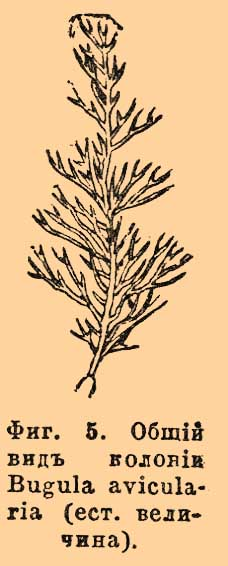 Фиг. 5. Общий вид колонии Bugula avicularia (ест. величина).