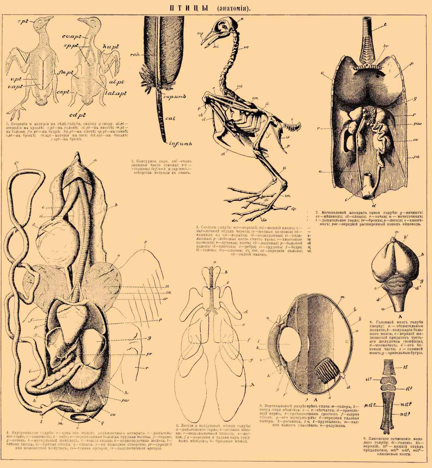 ПТИЦЫ (анатомия)