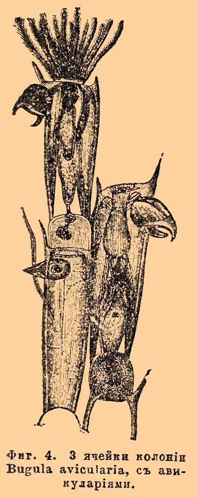 Фиг. 4. Часть колонии Bugula avicularia, с авикуляриями.
