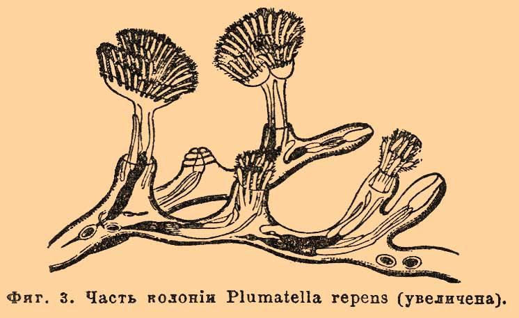 Фиг. 3. Часть колонии Plumatella repens (увеличена).
