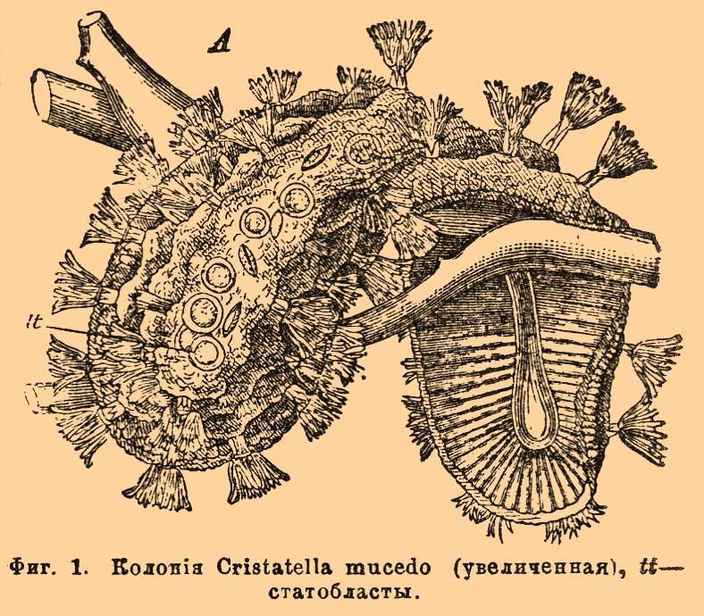 Фиг. 1. Колония Cristatella mucedo(увеличенная), tt— статобласты.