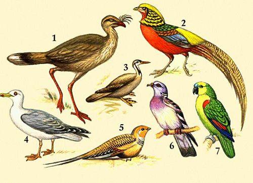 1 — хохлатая сериема; 2 — золотой фазан; 3 — лапчатоног; 4 — серебристая чайка; 5 — саджа; 6 — вяхирь; 7 — синелобый попугай.