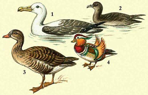 1 — темноспинный альбатрос; 2 — тонкоклювый буревестник; 3 — гусь-гуменник; 4 — мандаринка.
