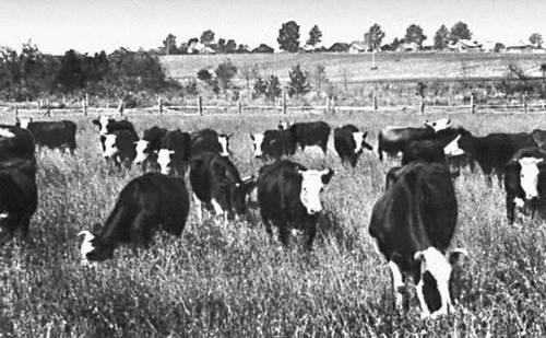 Ярославская область. Стадо коров ярославской породы на пастбище.