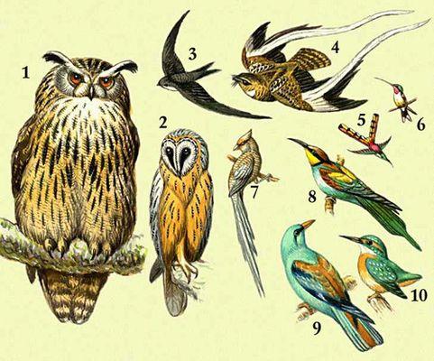 1 — филин; 2 — сипуха; 3 — черный стриж; 4 — вымпельный козодой; 5 — колибри-сапфо; 6 — колибри-зорька; 7 — птица-мышь; 8 — золотистая щурка; 9 — сизоворонка; 10 — голубой зимородок.
