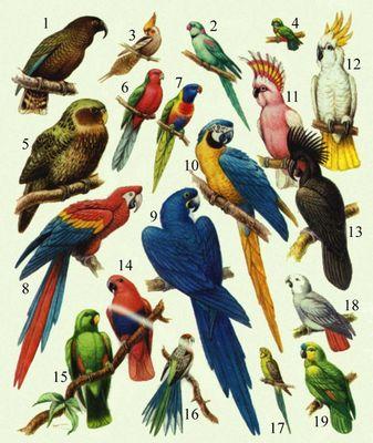 Попугаи. 1. Кеа. 2. Ожереловый попугайчик. 3. Карелла. 4. Карликовый попугай. 5. Какапо. 6. Красный лори. 7. Пёстрый лори. 8. Красный ара. 9. Гиацинтовый ара. 10. Голубой (сине-жёлтый) ара. 11. Какаду инка. 12. Жёлтохохлый какаду. 13. Черный какаду. 14. двухцветный попугай, самка. 15. Он же, самец. 16. Розелла. 17. Волнистый попугайчик. 18. Жако. 19. Синелобый попугай.