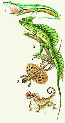 Ящерицы. 1. Кубинский анолис. 2. Василиск. 3. Летучий дракон. 4. Ушастая круглоголовка.