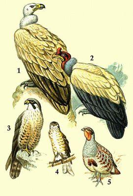 1 — белоголовый сип; 2 — королевский гриф; 3 — сокол сапсан; 4 — ястреб-перепелятник; 5 — серая куропатка.