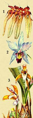 Орхидные. 1. Cirrhopetalum longiflorum. 2. Laelia anceps. 3. Maxillaria picta.