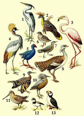 1 — серая цапля; 2 — гоанцин; 3 — обыкновенный фламинго; 4 — венценосный журавль; 5 — султанская курица; 6 — пятнистая трехперстка; 7 — пастушковая куропатка; 8 — дрофа; 9 — солнечная цапля; 10 — кагу; 11 — вальдшнеп; 12 — малый зуек; 13 — ипатка.
