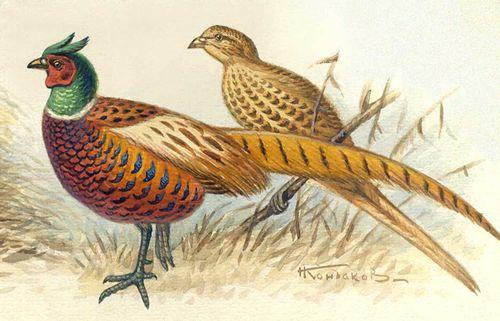 Обыкновенный фазан: самец, самка.