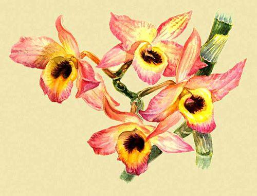Орхидные. Dendrobium nobile.