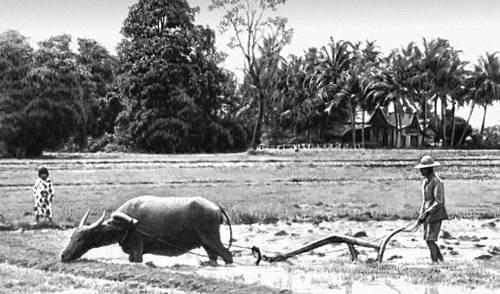 Восточная Малайзия (Сабах). Обработка рисового поля.