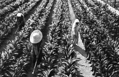 Плантации ананасов.