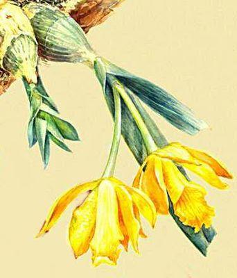 Орхидные. Cattleya citrina.