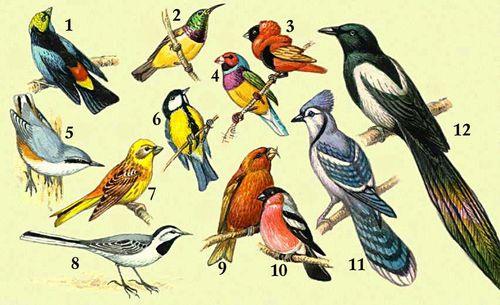 1 — семицветная танагра; 2 — нектарница Фалькенштейна; 3 — францисканский ткачик; 4 — голубая амадина; 5 — обыкновенный поползень; 6 — большая синица; 7 — обыкновенная овсянка; 8 — белая трясогузка; 9 — клест-еловник; 10 — снегирь; 11 — голубая сойка; 12 — сорока.