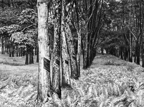 Каучуковая плантация в районе г. Куала-Лумпур.