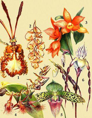 Орхидные. 1. Oncidium kramerianum. 2. Gongora galeata. 3. Sophronitis cernua. 4. Bulbophyllum barbigerum. 5. Paphiopedilum sukhakulii. 6. Paphiopedilum philippinense.