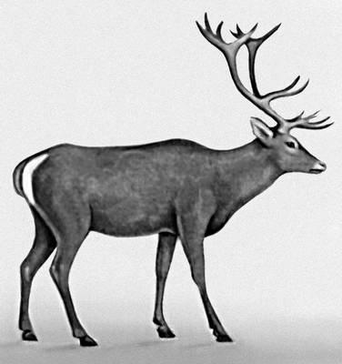 Кавказский олень.